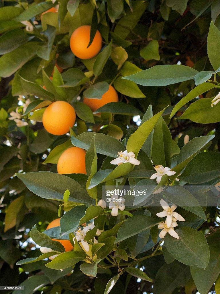 Orange blossoms and oranges on tree