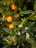 Orange blossoms and oranges on tree