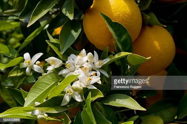 Orange blossoms,ripe oranges,Catania,Sicily,Italy