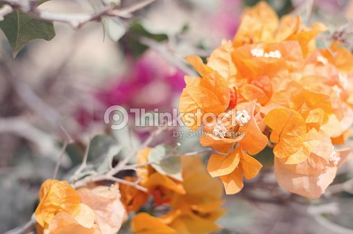 Orange bougainvillea flowers blooming paperflower popular plant for orange bougainvillea flowers blooming paperflower popular plant for gardening and parks stock photo mightylinksfo