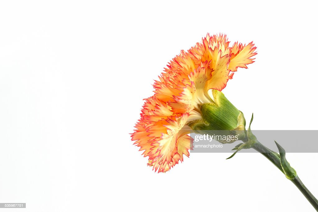 Orange carnation flower. : Stock Photo
