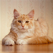 Orange Cat sitting on table
