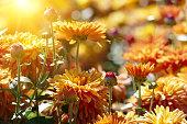 Orange chrysanthemum flowers lit by morning sun.