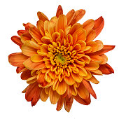 Beautiful orange chrysanthemum flower isolated on white background