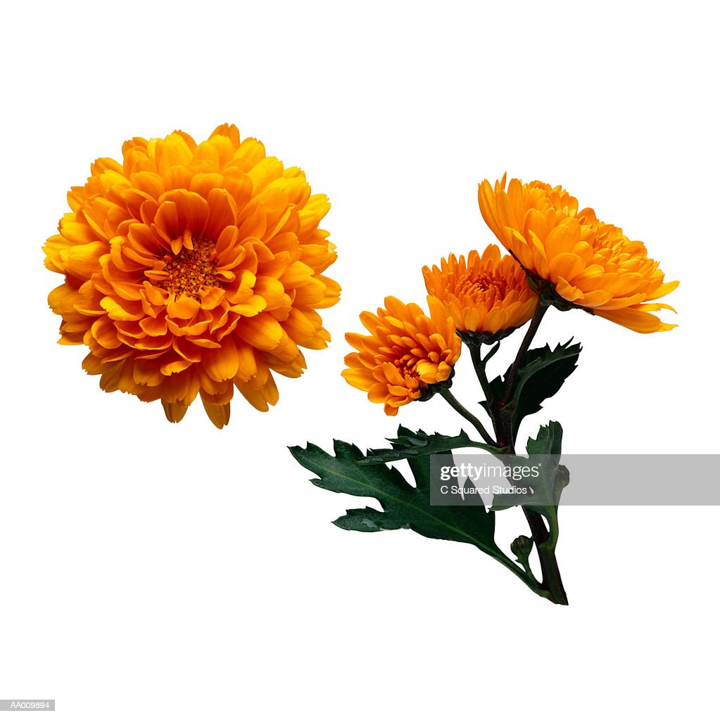 Orange Chrysanthemums : Stock Photo