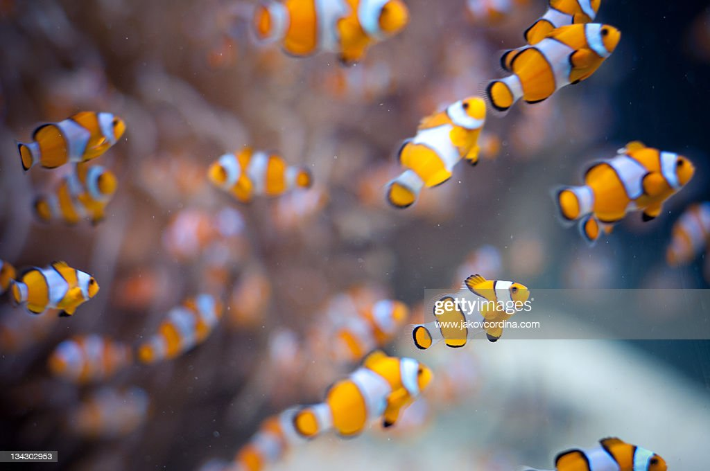 Orange clown fish in water : Stock Photo
