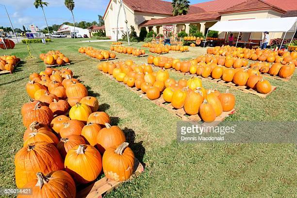 Orange color pumpkin patch for Halloween