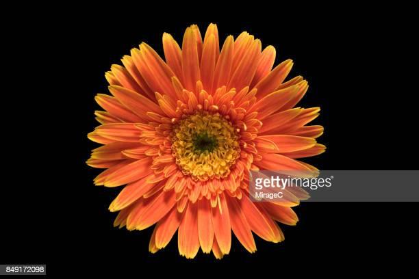Orange Colored Barberton Daisy Flower on Black Background
