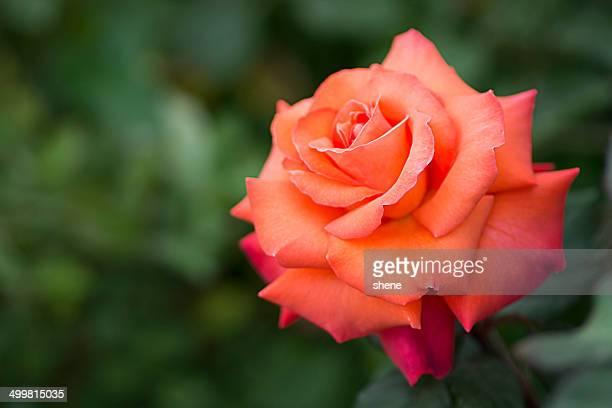 Orange Colour Rose