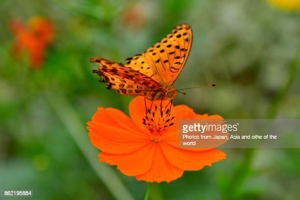 Orange Cosmos and Butterfly