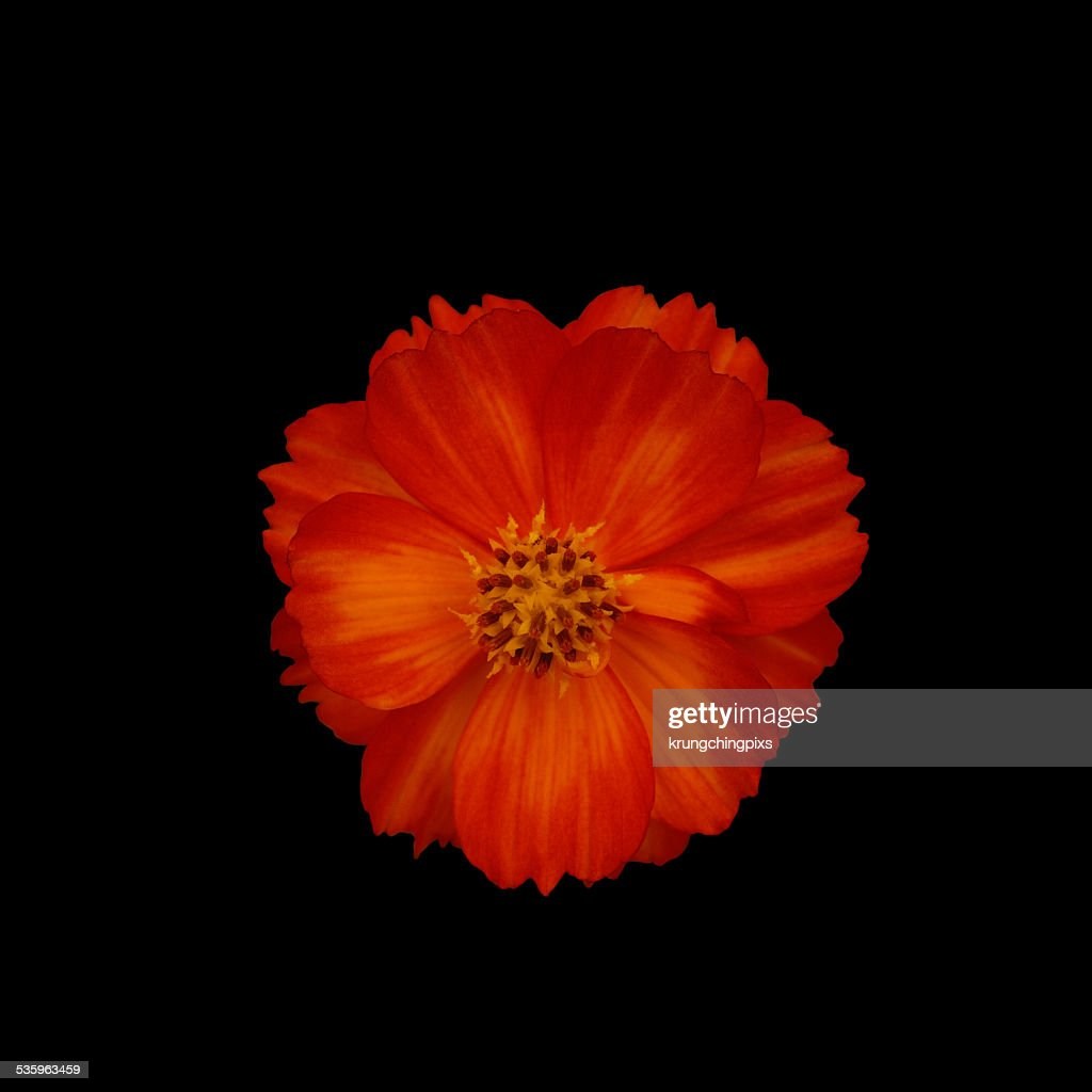 orange cosmos flower : Stock Photo