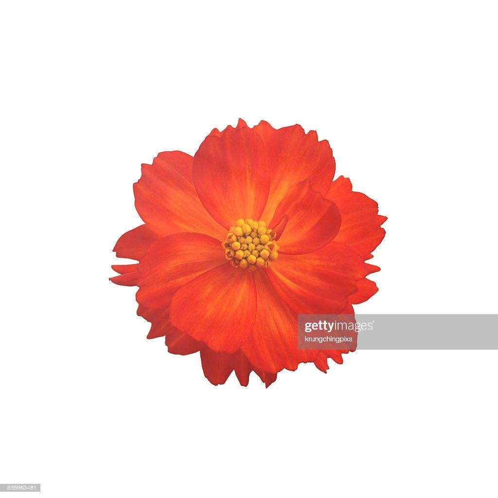 orange cosmos flower : Stock Photo