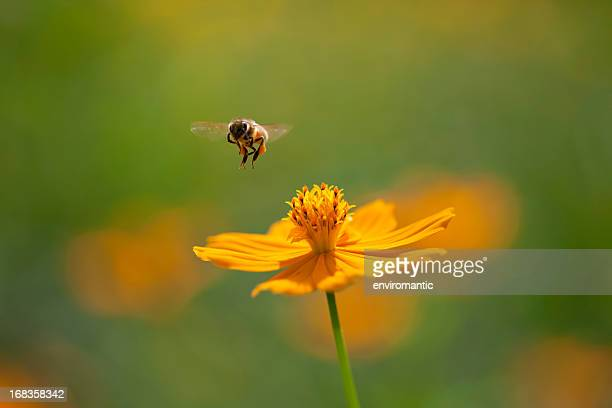 Orange Cosmos flower with bee flying.