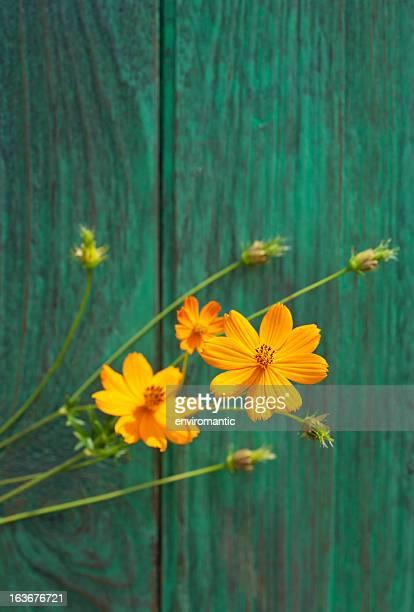 Cosmea gialla fiori e una recinzione in legno vecchio.