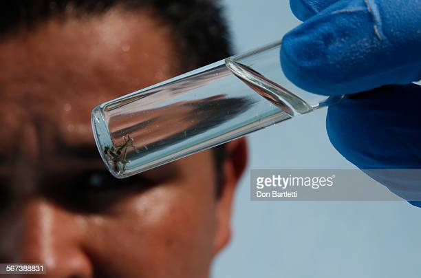 PARK CA Orange County Vector Control inspector Eddie Garcia looks at several tiny mosquito larvae collected from a Buena Park CA backyard swimming...