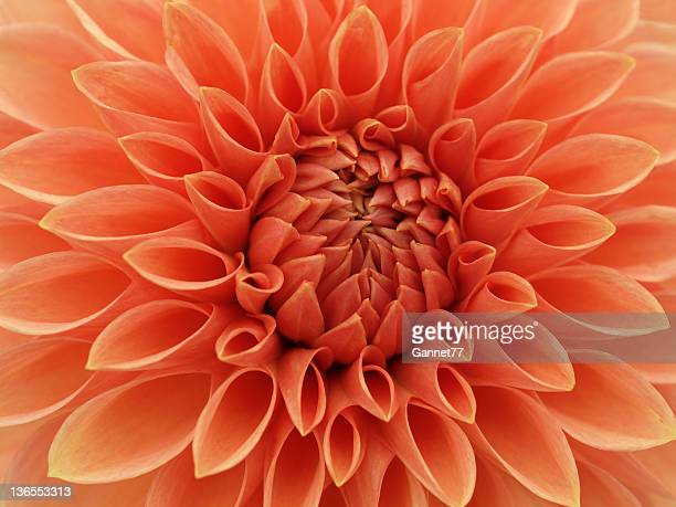 Gros plan d'Orange fleur Dahlia