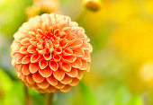 Orange dahlia flower with selective focus on the foreground. Orange flower with copy space and sunlight.