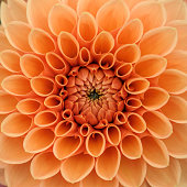 Orange dahlia petals macro, floral abstract background. Shallow DOF, square composition.