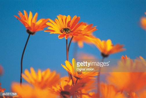 Orange daisies : Stock Photo