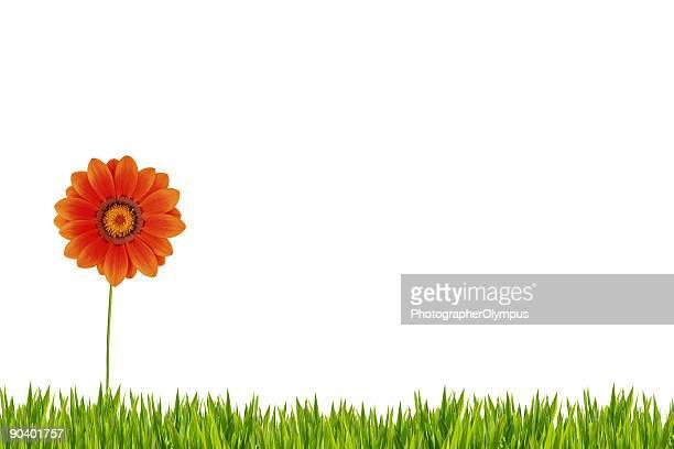 Orange Gänseblümchen im Gras XXXL