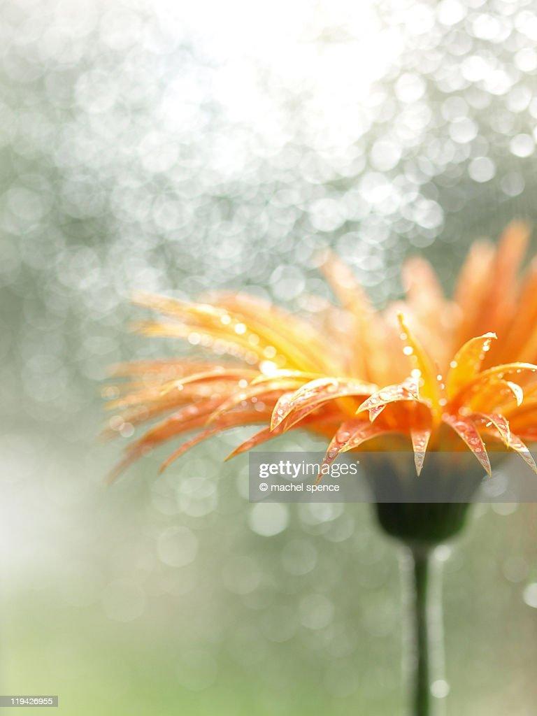 Orange Daisy : Stock Photo