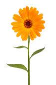 Orange daisy with long stem on white background