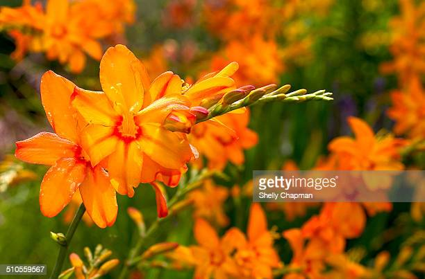 Orange daylily, Hemerocallis, in bloom, England