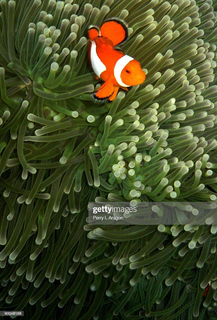Orange fish with yellow stripe
