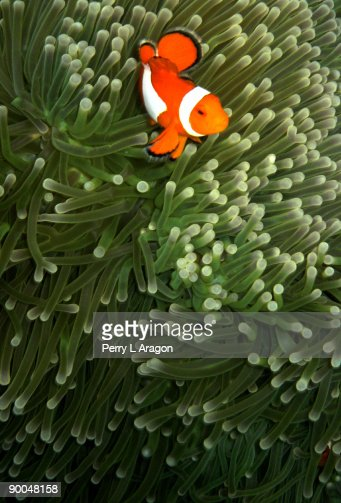 Orange fish with yellow stripe