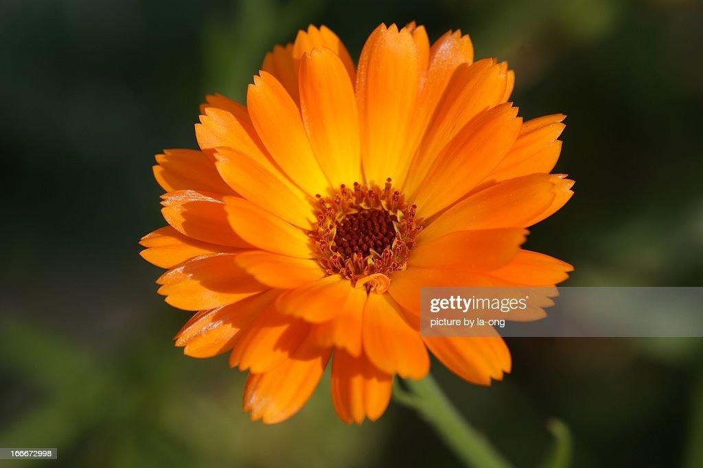 orange flower : Stock Photo