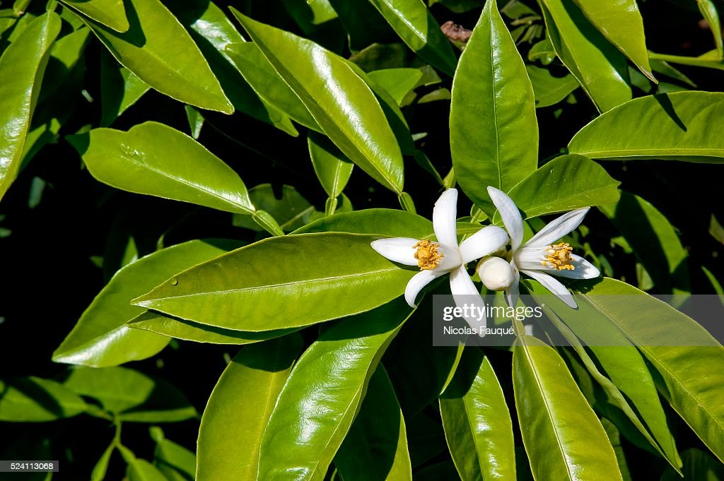 Orange flowers of Bigaradier in the region of Nabeul in Tunisia The bigaradier is a tree of the family of the Rutac��es The fruit the sheets the...