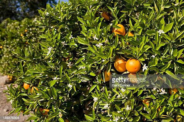 orange fruit and blooms in orchard