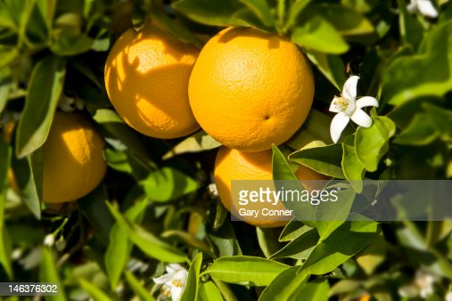 orange fruit and blooms : Stock Photo