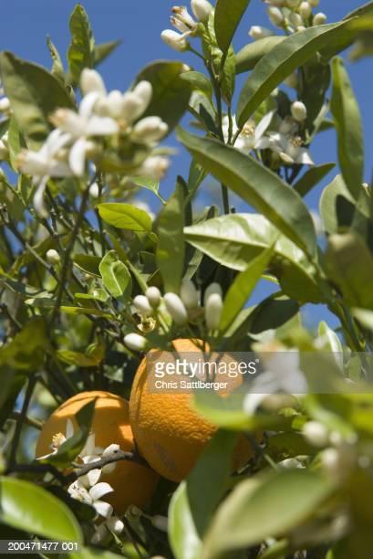 Orange fruit and blossom on orange tree, close-up