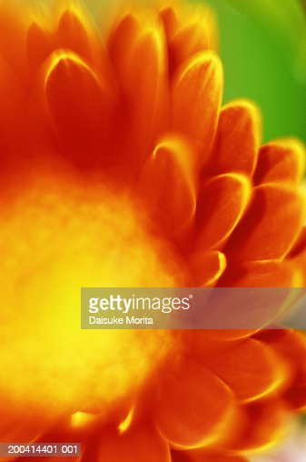 Orange gerbera, close-up : Stock Photo