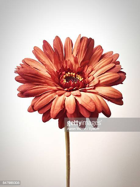 Orange Gerbera Daisy Against White Background