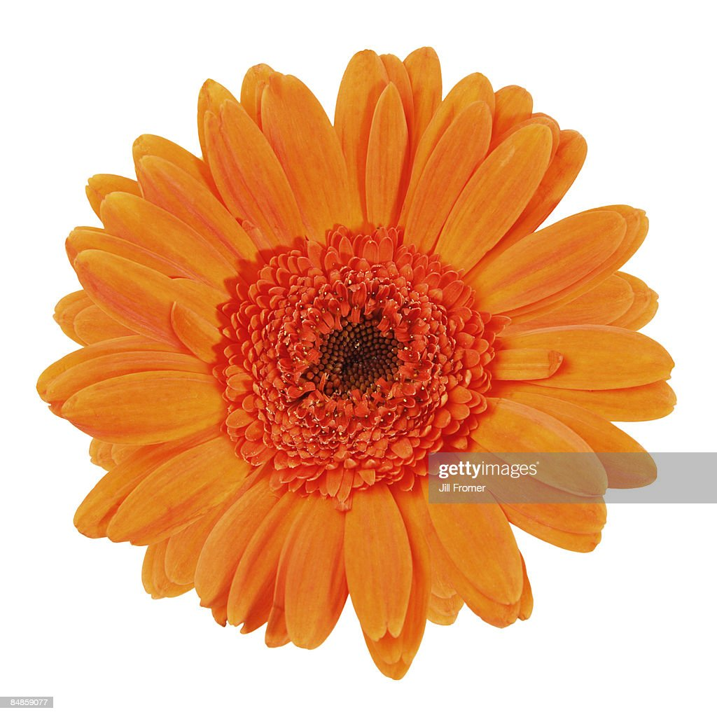 Orange Gerbera Daisy Isolated on White : Stock Photo