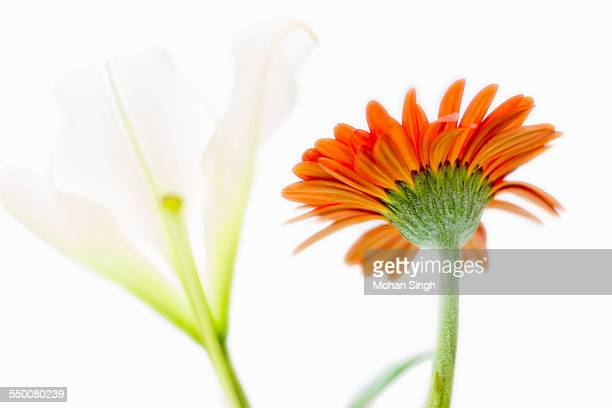 Orange gerbera flower with white lily