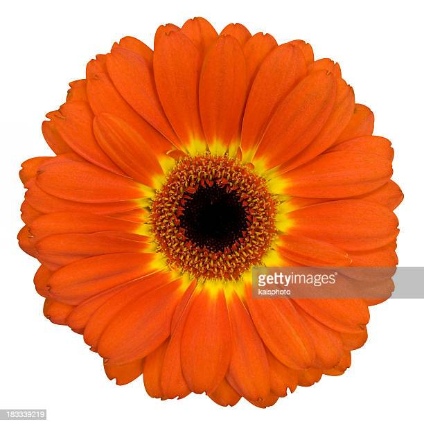 Orange Gerbera flower with yellow ring around the pistil