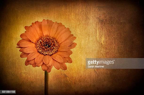 Orange gerbera on a textured background