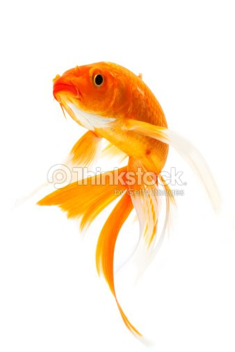 Orange golden koi fish on white background stock photo for Orange coy fish
