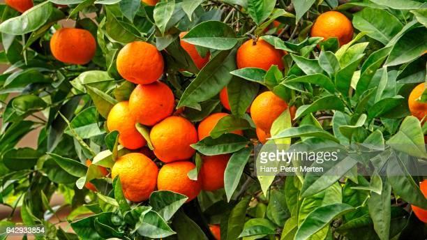 Orange grove near Soller, Majorca, Balearic Islands, Spain