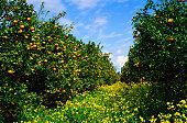 Orange Grove, yellow flowers covering path