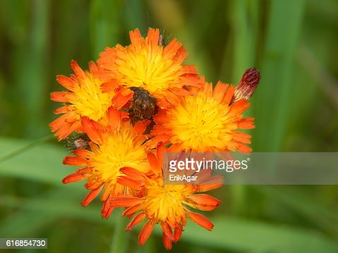 Orange Hawkweed Flowers in Bloom : Stock Photo