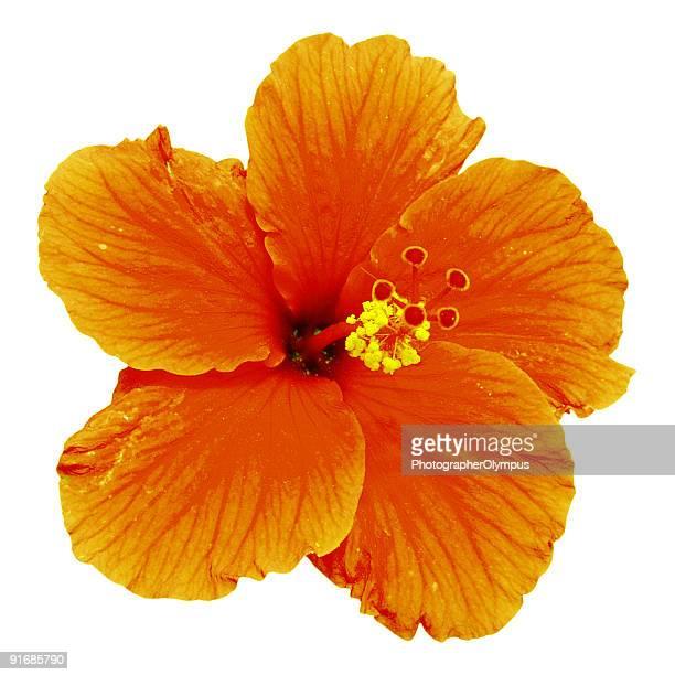 Orange mit Hibiskus