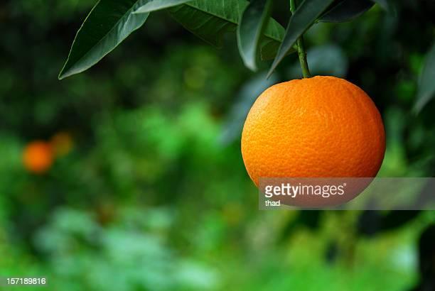 Orange en Orchard (Close up