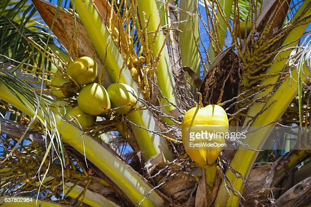 Orange King coconut on a palmtree on December 14 2016 in Thandwe Ngapali Beach Myanmar