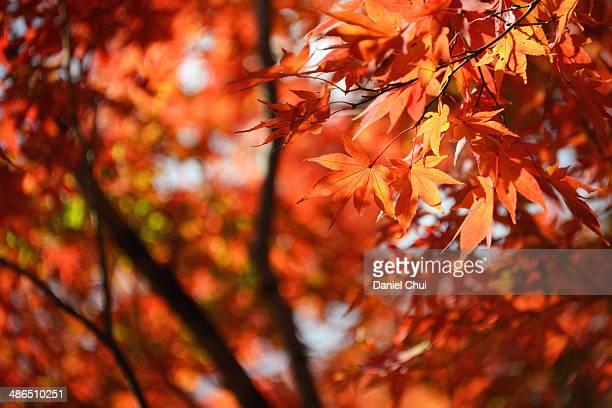 Orange Koyo leaves in Kyoto, Japan