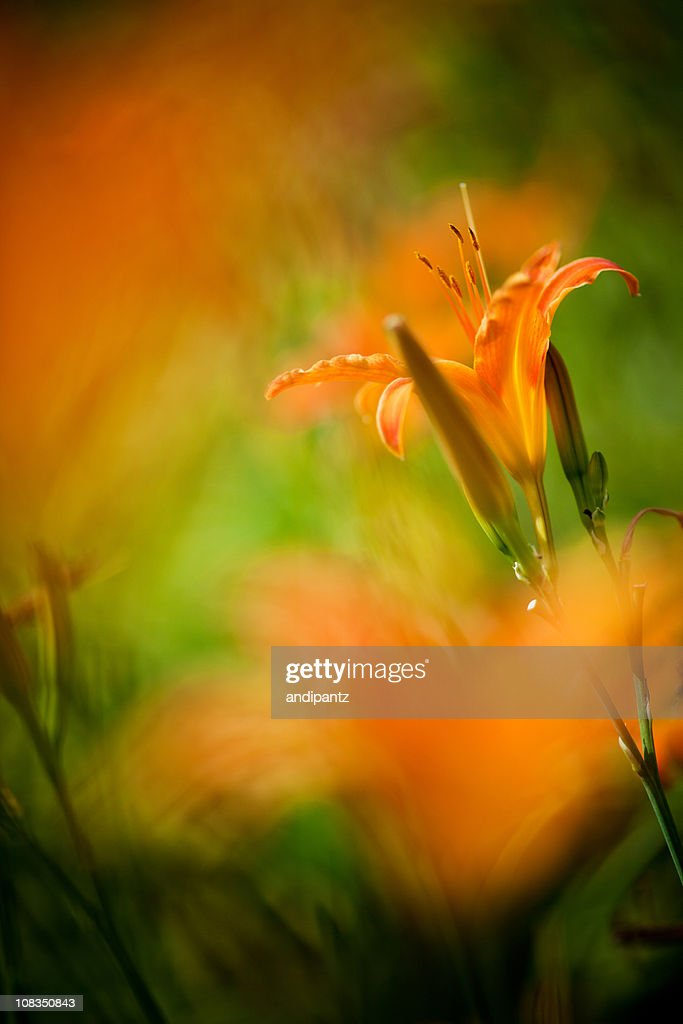 Orange Lily : Stock Photo