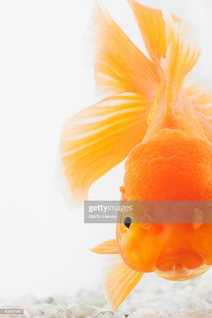 Orange lionhead goldfish : Stock Photo